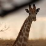 Vrije uitloop Giraffe